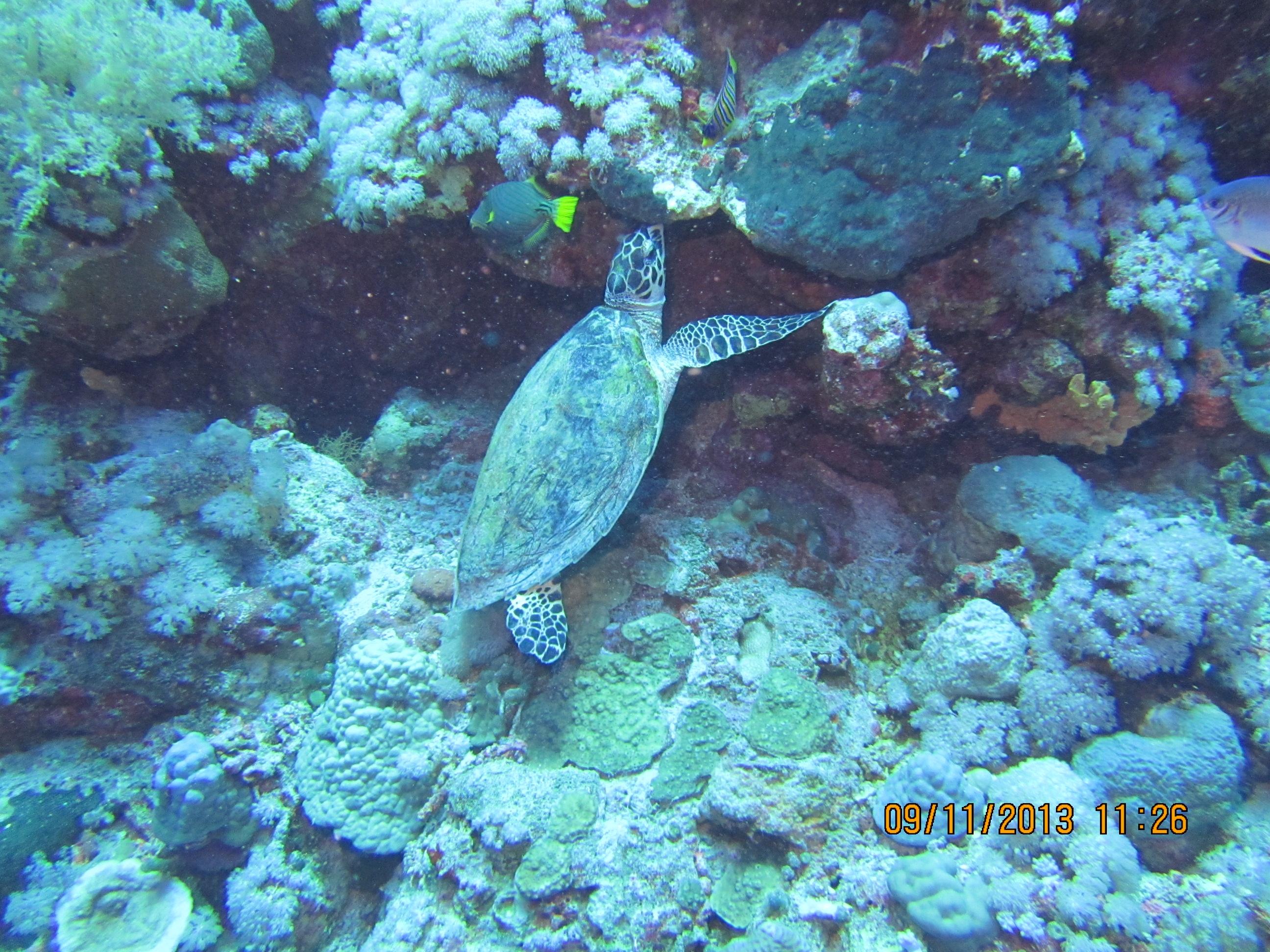 Кокетливая черепаха заедает свою печаль